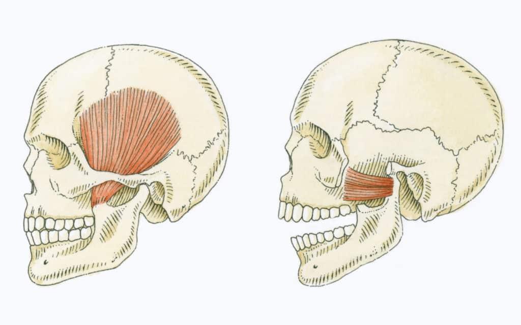 muscle machoire